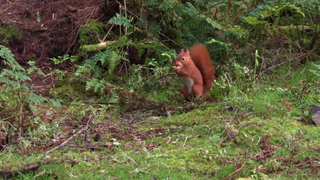 close up of one red squirrel collecting nuts in scottish woodland on a summer morning - animals in the wild stock videos & royalty-free footage