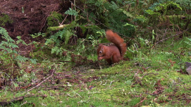 close up of one red squirrel collecting nuts in scottish woodland before running away - johnfscott stock videos & royalty-free footage