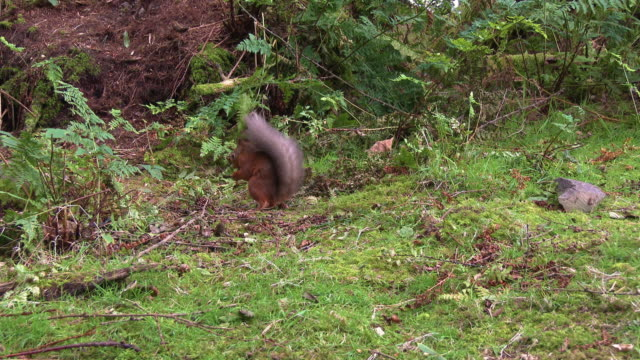 close up of one red squirrel eating a nut while watching out for other squirrels in scottish woodland on a summer morning - johnfscott stock videos & royalty-free footage