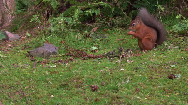 close up of one red squirrel sitting eating a nut in scottish woodland on a summer morning - johnfscott stock videos & royalty-free footage