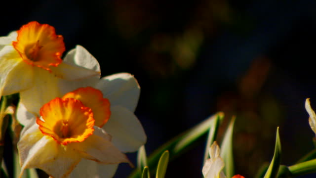 close up of orange and yellow daffodils