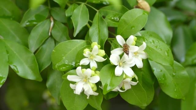 vidéos et rushes de fermez-vous vers le haut de fleur de jasmin orange fleurissant sur l'arbre - pétale