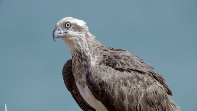 close up of osprey adult - osprey stock videos & royalty-free footage