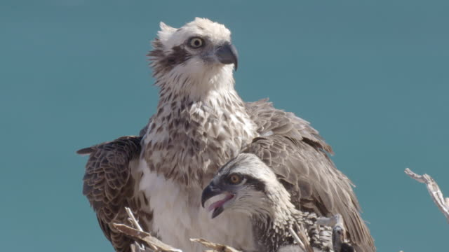 close up of osprey chick and parent in the nest - osprey stock videos & royalty-free footage