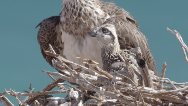 close up of osprey chick next to parent in the nest - ミサゴ点の映像素材/bロール
