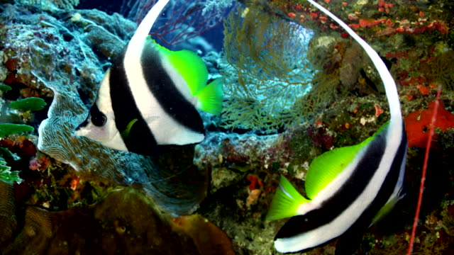 close up of pair of angelfish swimming by reef - angelfish stock videos & royalty-free footage