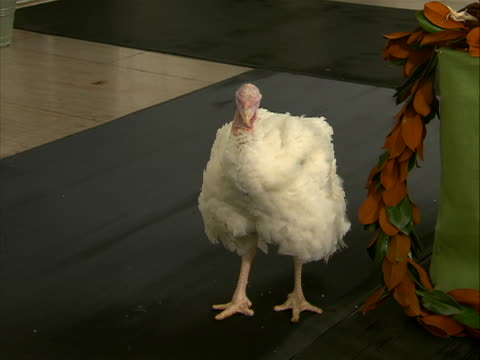 close up of pardoned white turkey liberty. national thanksgiving turkey presentation is a ceremony that takes place at the white house every year... - thanksgiving politics stock videos & royalty-free footage