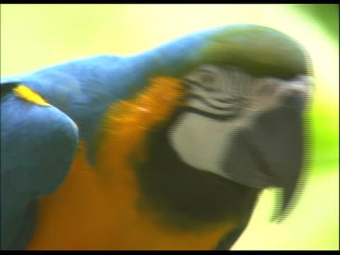 close up of parrot, eating - dreiviertelansicht stock-videos und b-roll-filmmaterial