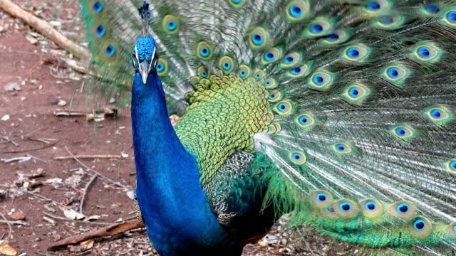 vídeos y material grabado en eventos de stock de primer plano de pavo real que muestran sus hermosos feathers - animal head