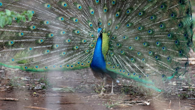 close up of peacock showing its beautiful feathers - peacock stock videos and b-roll footage