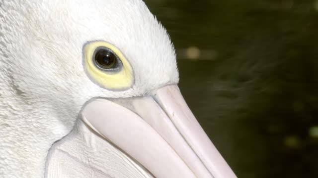 vidéos et rushes de close up of pelican's head, eye and beak - bouche des animaux