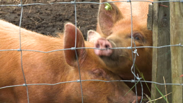 close up of pigs chewing at grass - pig stock videos & royalty-free footage