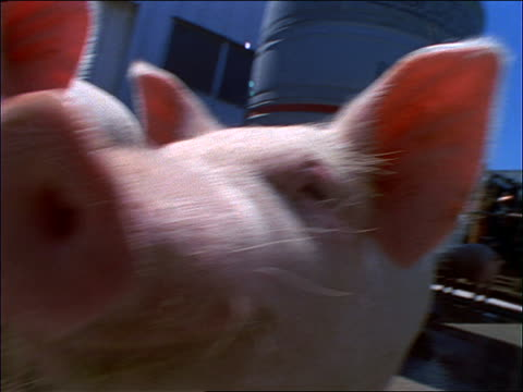 close up of pink pigs sniffing camera