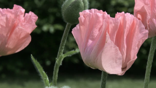 Close up of pink poppies in Scottish garden