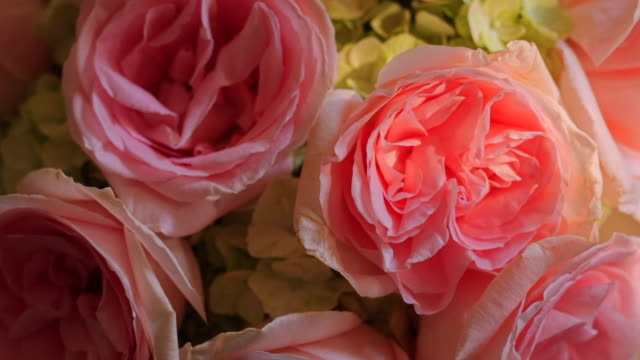 close up of pink roses with dappled light rack focus - dappled light stock videos and b-roll footage