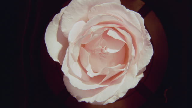 close up of pink time lapse rose blooming then wilting
