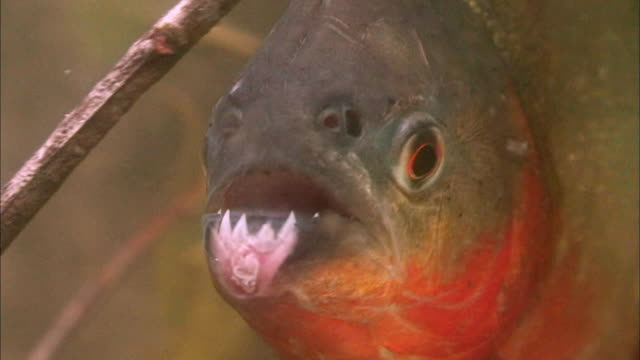 close up of piranha swimming underwater - amazonas state brazil stock videos and b-roll footage