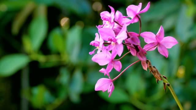 vidéos et rushes de gros violette orchidée sauvage dans la forêt. parc national de canaima, venezuela - tropical