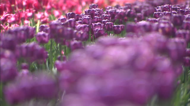 stockvideo's en b-roll-footage met close up of purplecoloured tulip - scherpte verlegging
