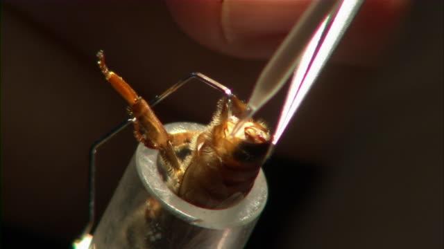 stockvideo's en b-roll-footage met close up of queen bee being artificially inseminated. - kunstmatige inseminatie