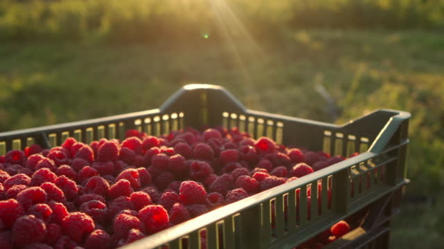 close up of raspberries bathed in the sun in a crate in the middle of the field - raspberry stock videos & royalty-free footage