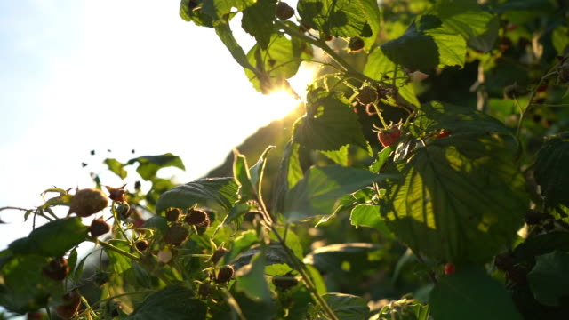 close up of raspberry plants in the field on sunny summer day - brambleberry stock videos & royalty-free footage