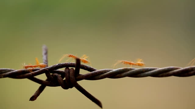 close up of red ant colony is walking in rows on rusty barbed wire - fasting activity stock videos & royalty-free footage