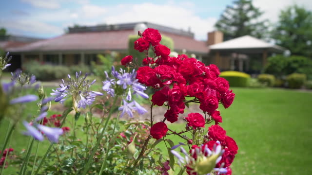 close up of red roses in bloom - lawn stock videos & royalty-free footage