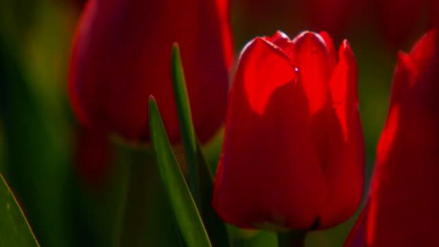 Close up of red tulips, handheld shot