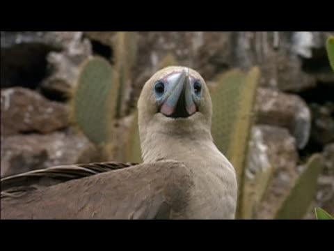 vídeos y material grabado en eventos de stock de close up of red-footed booby (sula sula) looking around / genovesa island, galapagos islands - alcatraz patirrojo