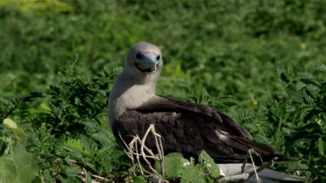 vídeos y material grabado en eventos de stock de close up of red-footed booby nesting in foliage - alcatraz patirrojo