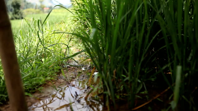 close up of rice plant in field in sa pa, vietnam - sa pa stock videos and b-roll footage