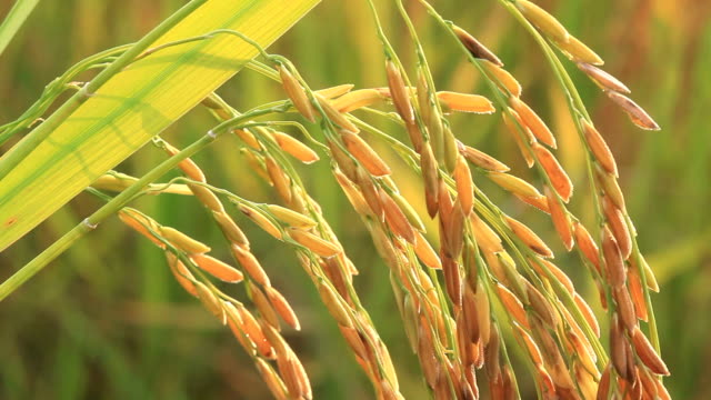 close up of rice plant - rice cereal plant stock videos & royalty-free footage