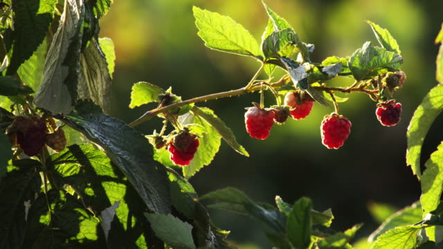 close up of ripe raspberries on their bush - raspberry stock videos and b-roll footage