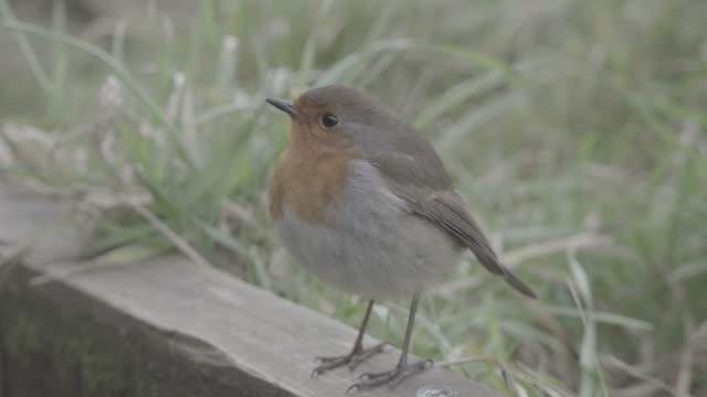Close up of Robin bird in Ireland
