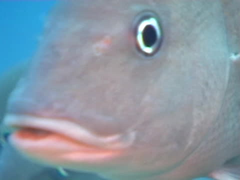 close up of school of grunt fish milling out of current on edge of reef - mittelgroße tiergruppe stock-videos und b-roll-filmmaterial