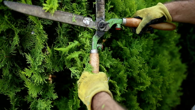 close up of scissors and man who pruning a tree