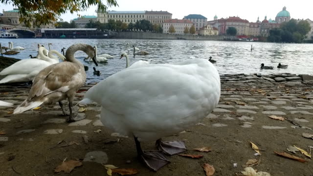 close up of scratching swan in vltava river - anatra uccello acquatico video stock e b–roll