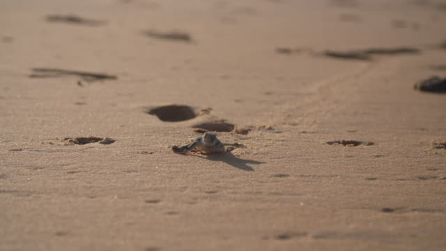 close up of sea turtle hatchling crawling along sand - turtle shell stock videos & royalty-free footage