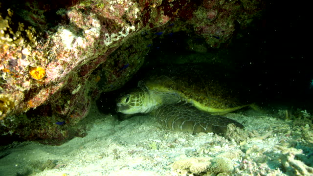 Close up of sea turtle under reef, turns to look at camera