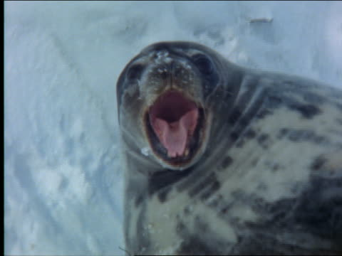 close up of seal lying in snow yawning / Antarctica