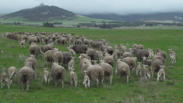 Close up of sheep in paddock