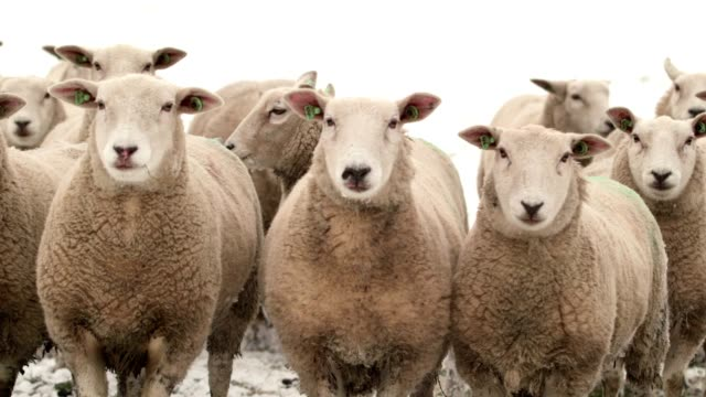 close up of sheeps in the snow