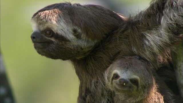 vídeos de stock e filmes b-roll de close up of sloth embracing baby and pulling branch - preguiça conceito