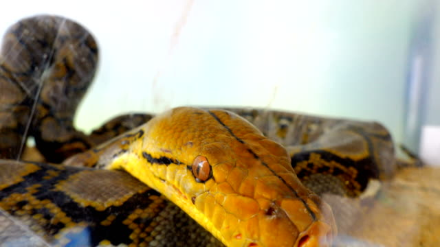 vídeos de stock, filmes e b-roll de close up de olhos de cobra e caça da boca - reptile