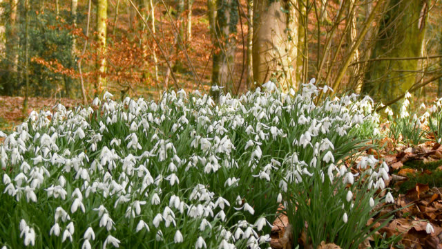 close up of snowdrops in scottish woodland in early march - dolly shot stock videos & royalty-free footage