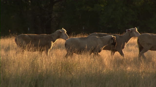 Close up of some sheep moving to screen right in the field.