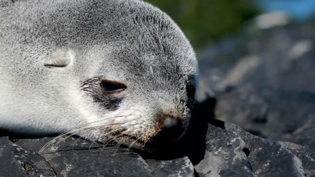 vídeos y material grabado en eventos de stock de close up of south american fur seal (arctocephalus australis) falkland islands - foca peluda del cabo