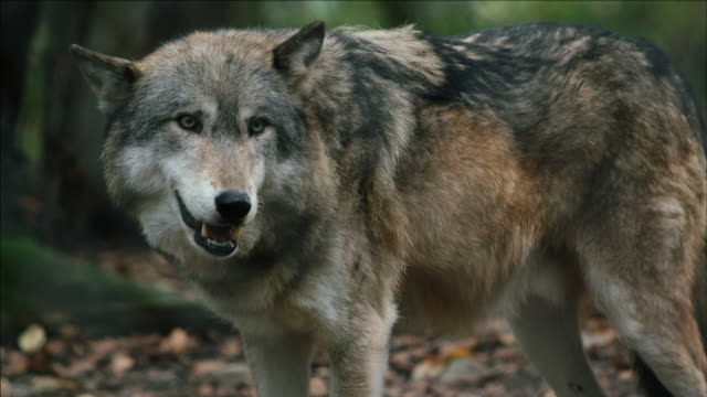 Close up of standing North American Eastern Wolf (CANIS LUPUS)