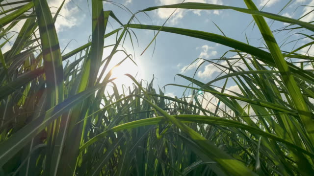 close up of sugar cane crop waving in the breeze - non urban scene stock videos & royalty-free footage